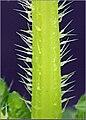 Urtica urens stinging hairs, kleine brandnetel brandharen.jpg