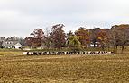 Vacas comiendo pienso, Kokomo, Indiana, Estados Unidos, 2012-10-20, DD 05.jpg