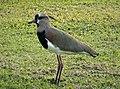 Vanellus chilensis Southern Lapwing. (29512769268).jpg
