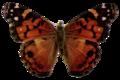 Vanessa virginiensis-transparent.png