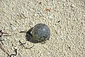 Ventricaria ventricosa (sea pearl) on aragonite sand beach (San Salvador Island, Bahamas) (15807235910).jpg