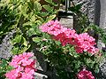 Verbena hybrida cv Hanatemari2.jpg