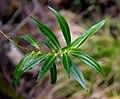 Veronica salicifolia in Aoraki Mount Cook NP 02.jpg