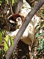 Verreauxs Sifaka , Isalo National Park (3953340877).jpg