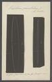 Vexillum parallelum - - Print - Iconographia Zoologica - Special Collections University of Amsterdam - UBAINV0274 110 02 0007.tif