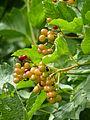Viburnum sargentii (Caprifoliaceae) berries.JPG