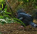 Victoria Crowned Pigeon (4253875953).jpg