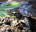 Vietnamese Pond Turtle Mauremys annamensis Adam G. Stern.jpg