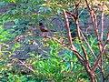 Vigilant Robin with Fledglings - panoramio.jpg