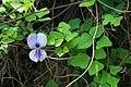 Vigna unguiculata 3.jpg