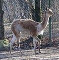 Vikunja Lama vicugna Tierpark Hellabrunn-20.jpg