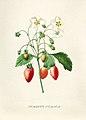 Vintage Flower illustration by Pierre-Joseph Redouté, digitally enhanced by rawpixel 91.jpg