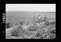 Vintage activities at Richon-le-Zion, Aug. 1939. Gen(eral) view of vineyards S.W. of Richon during grape picking LOC matpc.19747.jpg