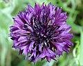 Violette Kornblume (Züchtung).jpg