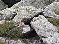 Vita da marmotte.jpg