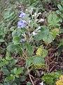 Vitex trifolia 01.JPG