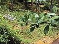 Vitex trifolia 12.JPG