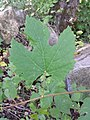 Vitis vinifera subsp. sylvestris sl11.jpg