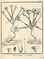 Voyria 1. rosea 2. caerulea Aublet 1775 pl 83.jpg