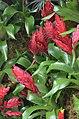 Vriesea 'Harmony' Flowers.JPG