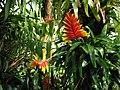 Vriesea carinata (TS) 2-00621.jpg