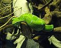 Wagler's Pit Viper in TMII Reptile Park.JPG