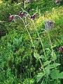 Waldstein-Kratzdistel (Cirsium waldsteinii).jpg
