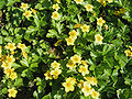 Waldsteinia ternata 02.jpg