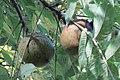 Walnuts 707.jpg