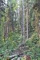 Wapta Falls Trail IMG 4940.JPG