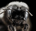 Washed Megachile, f, face, chile 2014-08-06-10.34.14 ZS PMax (14977843152).jpg