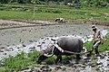 Water Buffalo ploughing.jpg