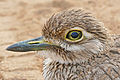Water Thick-knee (Burhinus vermiculatus) close-up (16608927739).jpg