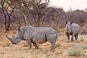 White rhinos in Namibia