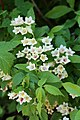 Weigela middendorffiana (Caprifoliaceae) (35969834792).jpg