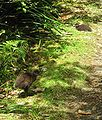Weka chick, Heaphy Track, NZ.jpg