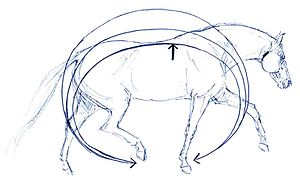 "Back (horse) - A complex interplay of bone and muscle, supported by powerful tendons and ligaments allows a horse to ""round"" under the saddle and best support the weight of a rider"
