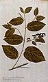 West Indian Snake Bark (Colubrina ferruginea Brongn.); leafy Wellcome V0042949.jpg