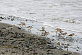 Western Sandpipers, Dungeness NWR - 3347759926.jpg