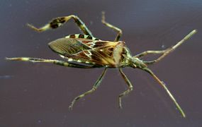 Western conifer seed bug.gk.jpg