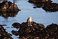 Western gull (38498196434).jpg