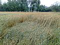 Wheat crop after heavy rain & wind.jpg