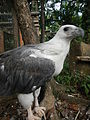 White-bellied Sea Eagle - Haliaeetus leucogaster - Ninoy Aquino Parks & Wildlife Center 15.jpg