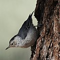 White-breasted Nuthatch (9119946015).jpg
