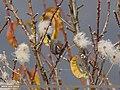 White-browed Tit Warbler (Leptopoecile sophiae) (15707932550).jpg