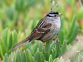 White-crowned Sparrow HMB RWD2.jpg