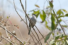 White-lored Gnatcatcher (Polioptila albiloris).jpg
