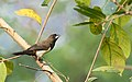 White-rumped Munia 15.jpg