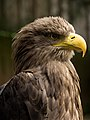 White-tailed Eagle Head detail