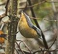 White-tailed Nuthatch - Eaglenest - IndiaFJ0A0978 (33901897960) (cropped).jpg